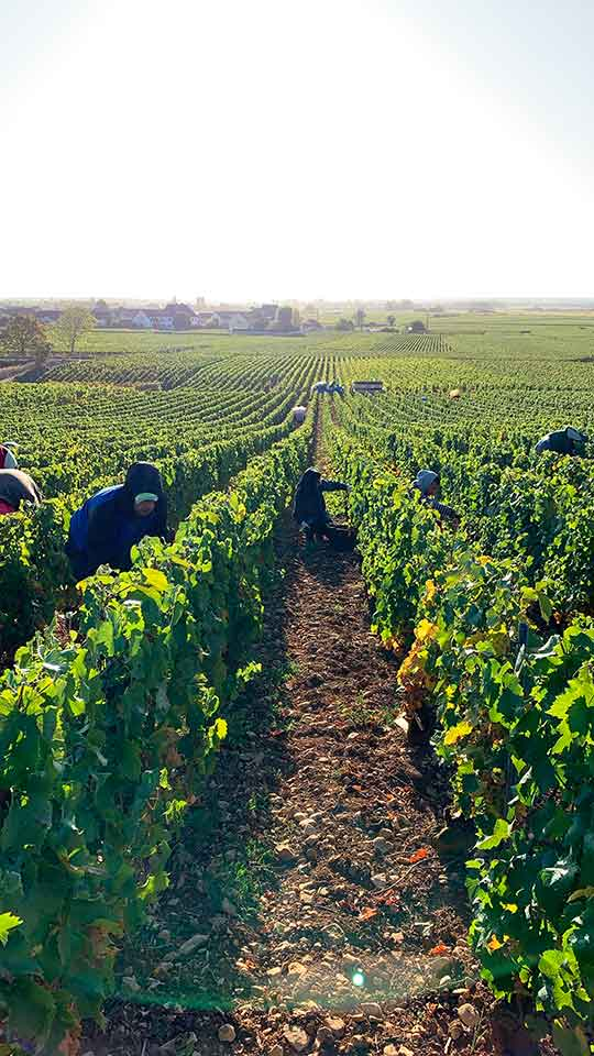 The grape harvest of Domaine François Gaunoux